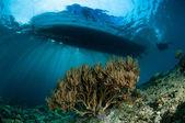 Bent sea rod in Gorontalo, Indonesia. — Stock Photo