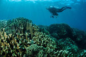 Various hard coral reefs in Gorontalo, Indonesia underwater photo — Stock Photo