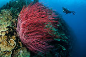 Sea whip Ellisella grandis in Gorontalo, Indonesia underwater — Stock Photo