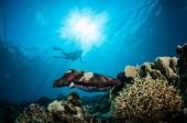 Broadclub cuttlefish Sepia latimanus in Gorontalo, Indonesia underwater photo — Stock Photo