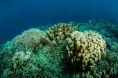 Dendrogyra cyllindrus coral and other various hard coral reefs in Gorontalo, Indonesia underwater photo. — Stock Photo