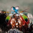 Постер, плакат: Peacock mantis shrimp in Gorontalo Indonesia underwater photo