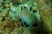 Amblyeleotris randalli, randall shrimp goby in Gorontalo, Indonesia underwater photo. — Stock Photo