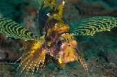 Shortfin lionfish Dendrochyrus brachypterus in Gorontalo, Indonesia underwater photo. — Stock Photo