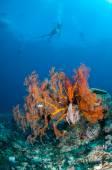 Diver swimming, Sea fan Anella mollis in Gili, Lombok, Nusa Tenggara Barat, Indonesia underwater photo — Stock Photo
