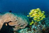 Schooling bluestripe snapper Lutjanus kasmira, great star coral in Gili,Lombok,Nusa Tenggara Barat,Indonesia underwater photo — Stock Photo