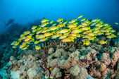 Schooling bluestripe snapper Lutjanus kasmira in Gili,Lombok,Nusa Tenggara Barat,Indonesia underwater photo — Stock Photo