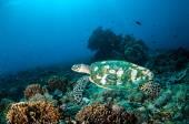 Hawksbill Sea Turtle swimming around the coral reefs in Gili, Lombok, Nusa Tenggara Barat, Indonesia underwater photo — Stock Photo