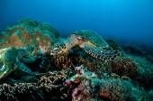 Hawksbill Sea Turtle swimming around the coral reefs in Gili, Lombok, Nusa Tenggara Barat, Indonesia underwater photo — Stock Photo