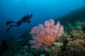 Diver and sea fan Annela mollis in Gili, Lombok, Nusa Tenggara Barat, Indonesia underwater photo — Stock Photo