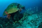 Schooling narrowstripe fusilier swimming in Gili, Lombok, Nusa Tenggara Barat, Indonesia underwater photo — Stock Photo
