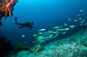 Diver and schooling narrowstripe fuslier are swimming in Gili, Lombok, Nusa Tenggara Barat, Indonesia underwater photo — Stock Photo