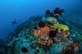 Ribbon sweetlips, many spotted sweetlips, anthias are swimming in Gili, Lombok, Nusa Tenggara Barat, Indonesia underwater photo — Stock Photo