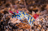 Nudibranch crawling over the bottom substrate in Gili, Lombok, Nusa Tenggara Barat, Indonesia underwater photo — Stock Photo