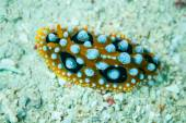 Nudibranche rampant sur le substrat de fond dans la photo sous-marine Derawan, Indonésie — Photo