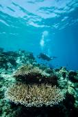 Diver and various hard coral reefs in Derawan, Kalimantan, Indonesia underwater photo — Stock Photo