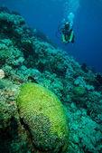 Plongeur et divers récifs de corail durs de Derawan, photo sous-marine de Kalimantan, Indonésie — Photo