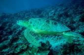 Green sea turtle swimming in Derawan, Kalimantan, Indonesia underwater photo — Foto de Stock