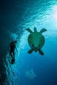 Diver and green sea turtle in Derawan, Kalimantan, Indonesia underwater photo — Stock Photo