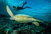 Diver and green sea turtle in Derawan, Kalimantan, Indonesia underwater photo — Stock Photo