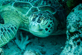 Green sea turtle in Derawan, Kalimantan, Indonesia underwater photo — Stock Photo