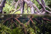 Underwater mangrove in Kakaban, Derawan, Kalimantan, Indonesia — Stock Photo