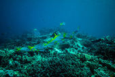 Grouping blue and yellow fusilier in Derawan, Kalimantan, Indonesia underwater photo — Stock Photo
