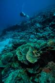 Diver and various coral reefs in Derawan, Kalimantan, Indonesia underwater photo — Stock Photo