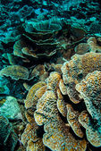 Hard coral reefs in Derawan, Kalimantan, Indonesia underwater photo — Stock Photo