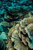Hard coral reefs in Derawan, Kalimantan, Indonesia underwater photo — Stock Photo