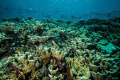 Various coral reefs and fishes in Derawan, Kalimantan, Indonesia underwater photo — Stock Photo