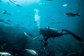 Diver and group of fishes in Derawan, Kalimantan, Indonesia underwater photo — Stock Photo