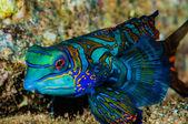 Dragonet mandarinfish in Banda, Indonesia underwater photo — Stock Photo