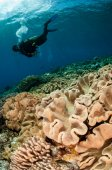Diver and mushroom leather corals in Banda, Indonesia underwater photo — Stock Photo