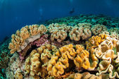 Diver and various soft coral, mushroom leather coral in Banda, Indonesia underwater photo — Stock Photo