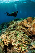 Divers and mushroom leather corals in Banda, Indonesia underwater photo — Stock Photo