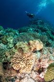 Dykare, svamp läder koraller i Banda, Indonesien undervattensfoto — Stockfoto