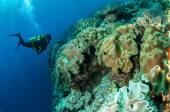 Водолазы, грибной коралл кожи в banda, Индонезия подводная фотография — Стоковое фото