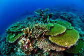 Various hard coral reefs in Banda, Indonesia underwater photo — Stock Photo