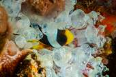 Clownfish hiding inside the bulb-tentacle anemone in Banda, Indonesia underwater photo — Stock Photo