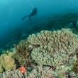 Diver, coral reef, mushroom leather coral in Ambon, Maluku, Indonesia underwater photo — Stock Photo #59837351