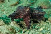 Flamboyant cuttlefish in Ambon, Maluku, Indonesia underwater photo — Stock Photo