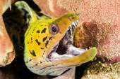 Fimbriated moray eel in Ambon, Maluku, Indonesia underwater photo — Stockfoto
