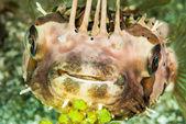 Porcupinefish in Ambon, Maluku, Indonesia underwater photo — Stock Photo