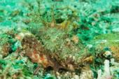 Spiny devilfish scorpionfish in Ambon, Maluku, Indonesia underwater photo — Stock Photo