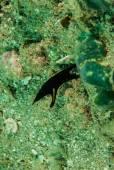 Ribbon eel juvenile in Ambon, Maluku, Indonesia underwater photo — Stock Photo