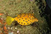 Yellow boxfish juvenile in Ambon, Maluku, Indonesia underwater photo — Stock Photo