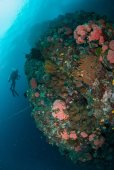 Diver, bunch of coral reefs in Ambon, Maluku, Indonesia underwater photo — Stock Photo
