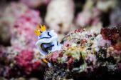 Nudibranch bunaken sulawesi indonesia chromodoris sp. underwater photo — Stock Photo