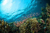 Schooler fish bunaken sulawesi indonesia underwater photo — Stock Photo